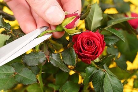 در هدف گذاری، برخی اهداف باید مانند جوانههای بوته گل رز هرس شوند.